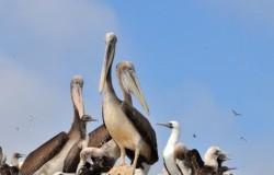 Îles Ballestas – les minis-Galapagos du Pérou