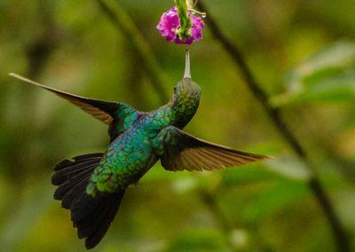 Colibri - Amazonie