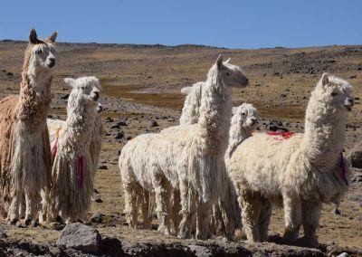 Canyon colca - Alpagas