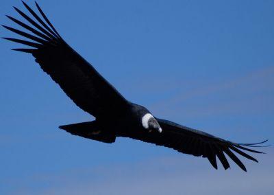 Canyon Colca - Condor