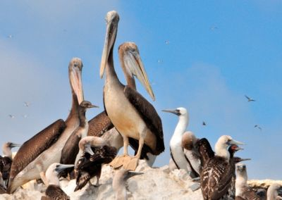 Paracas - Iles Ballestas, les mini galapagos